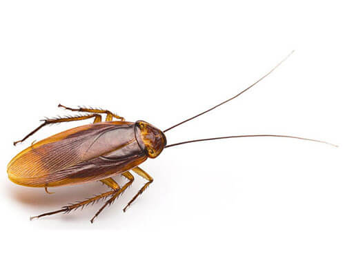 cockroach control, cockroach treatment